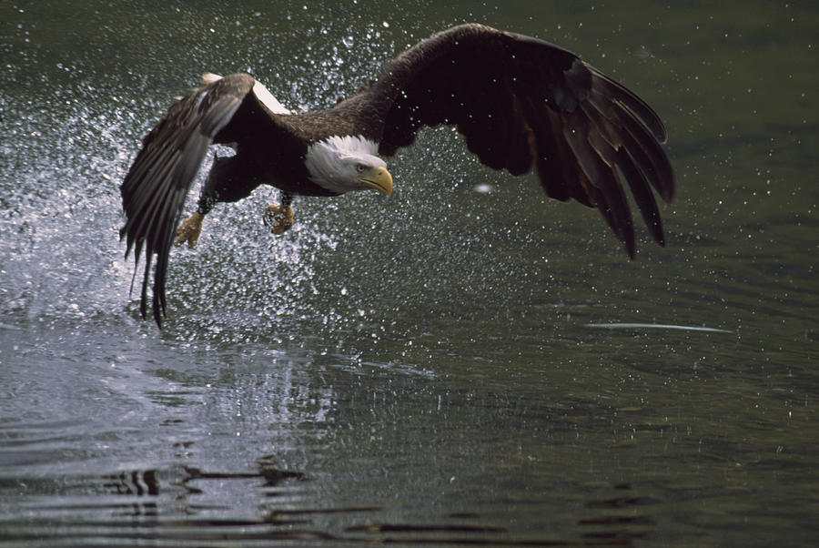 Bald eagle in flight catching fish photograph by johnny for Johnny johnson fishing