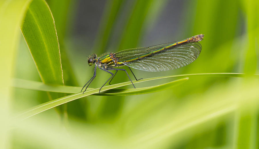Banded Demoiselle  Photograph
