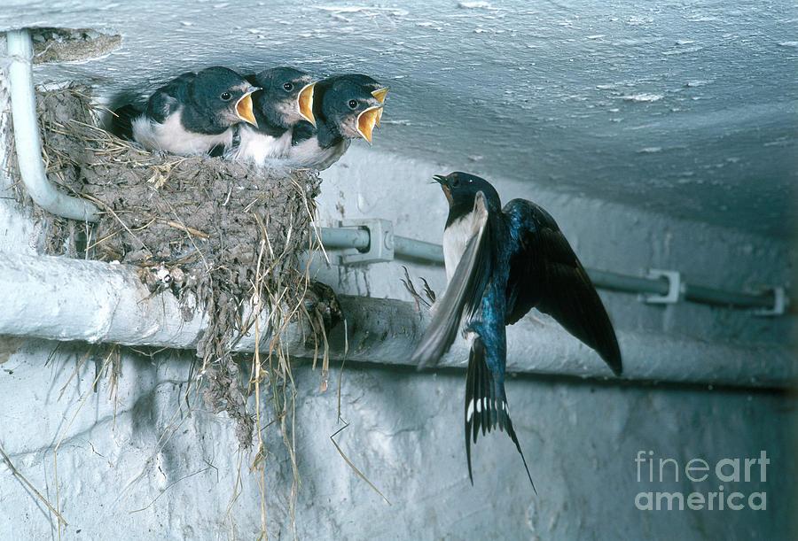 Barn Swallows Photograph