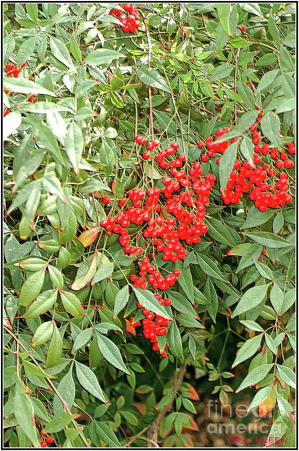 Berry Bush Photograph