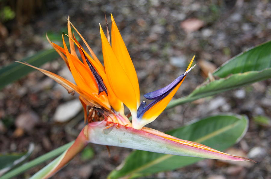 Bird Of Paradise Photograph  - Bird Of Paradise Fine Art Print