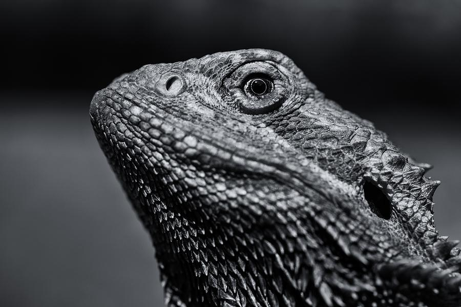 Black And White Bearded Dragon Portrait Photograph by Rick ...