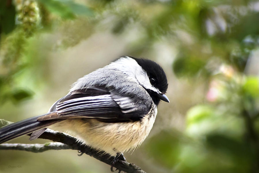 Black-capped Chickadee Photograph  - Black-capped Chickadee Fine Art Print