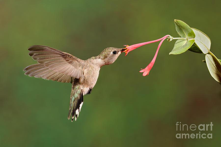 Black-chinned Hummingbird Photograph