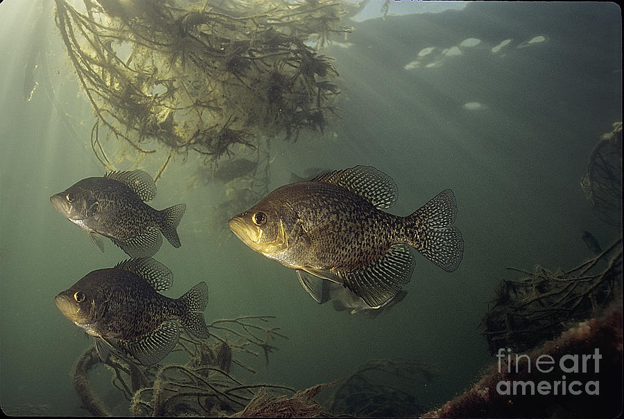 Black Crappie Photograph - Black Crappie Trio by Engbretson Underwater Photography