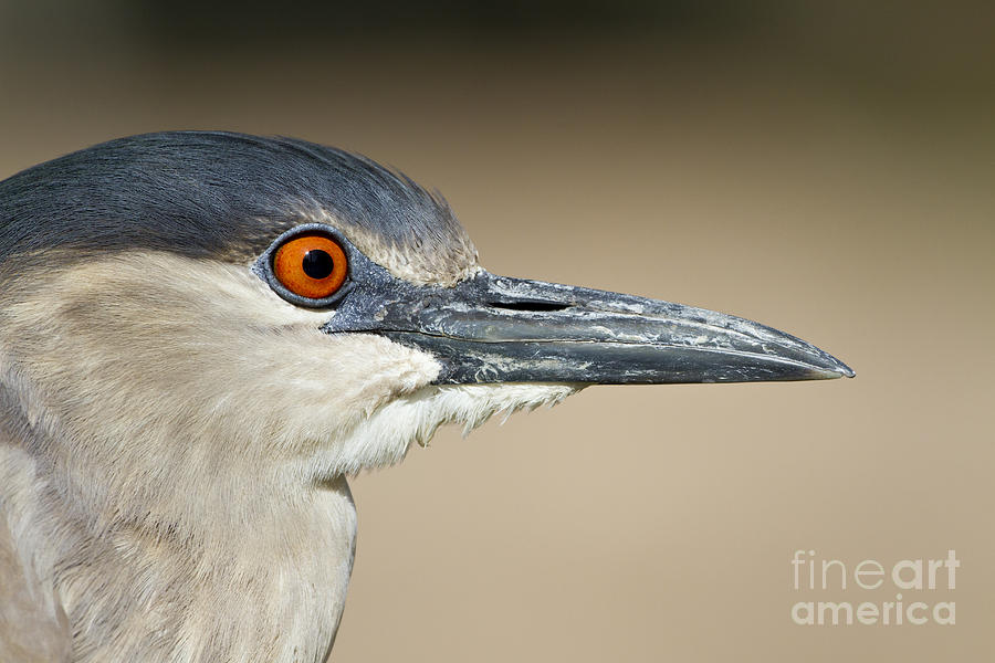 Black Crowned Night Heron Photograph