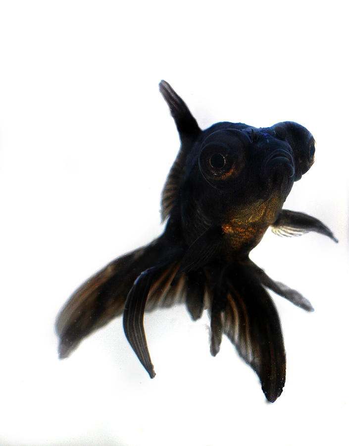 Black Moor Goldfish is a photograph by Nathan Abbott which was ...