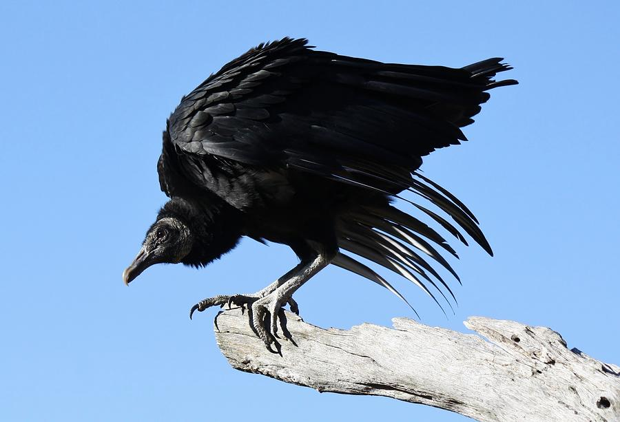 Black Vulture Photograph  - Black Vulture Fine Art Print
