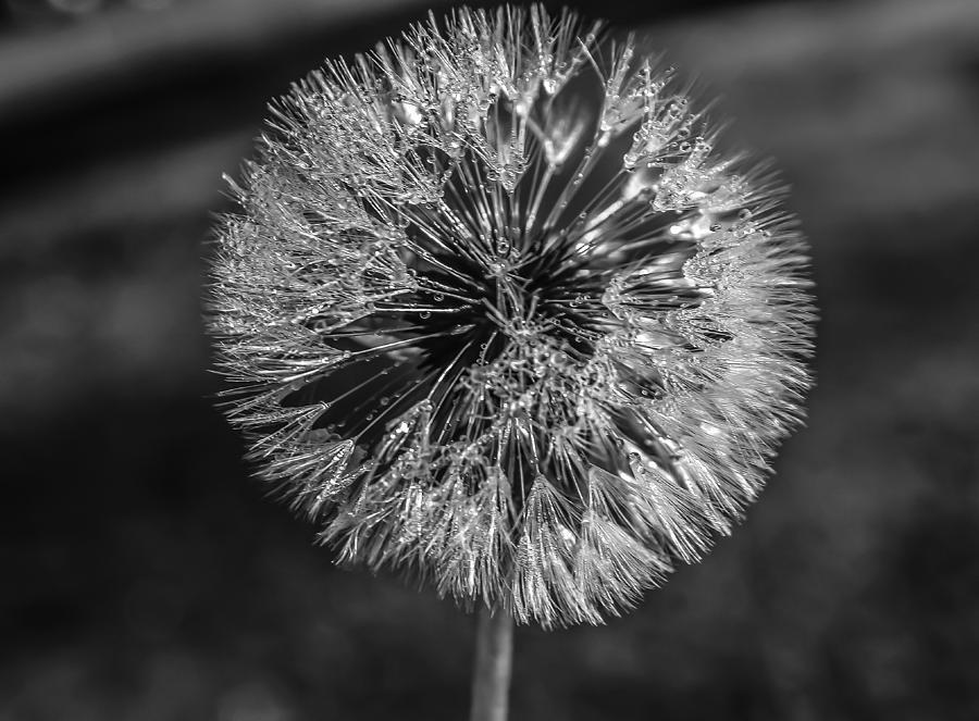Flower. Blow Photograph - Blow by Steven  Taylor