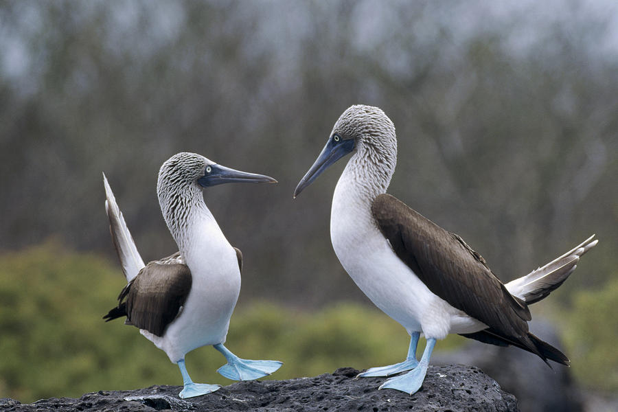 Blue-footed Boobies Courting Galapagos Photograph