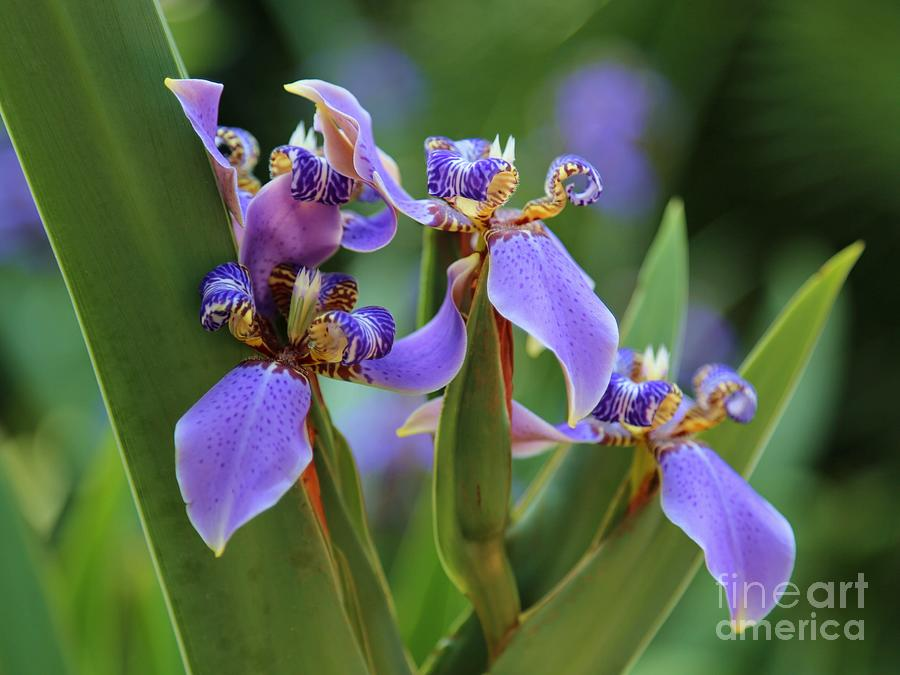 Blue Iris Drama Photograph
