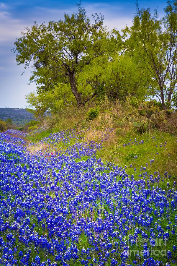 Bluebonnet Meadow Photograph