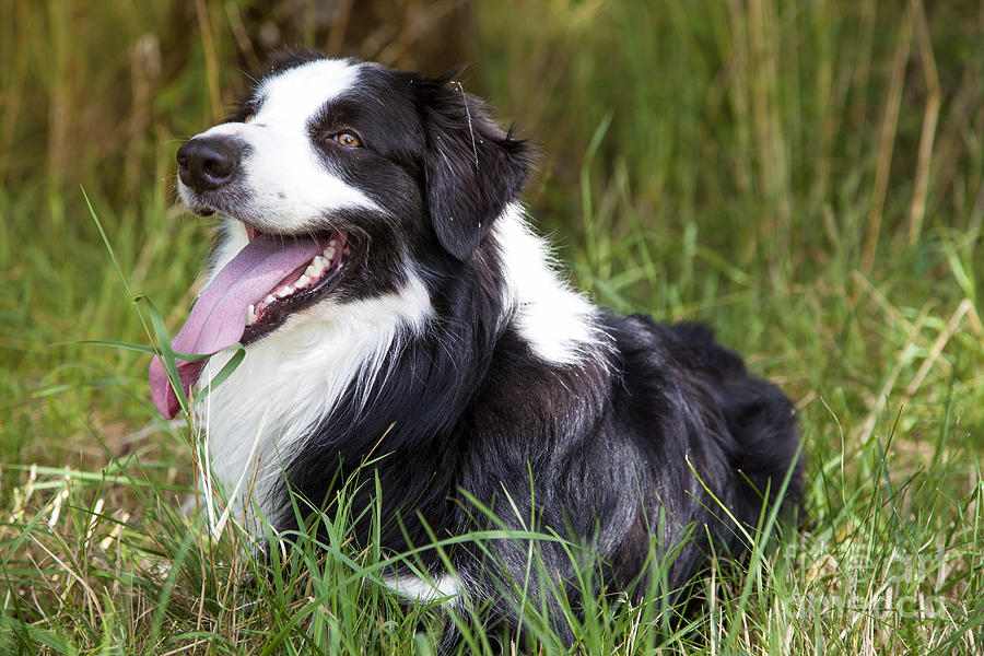 Border Collie In The Nature Photograph