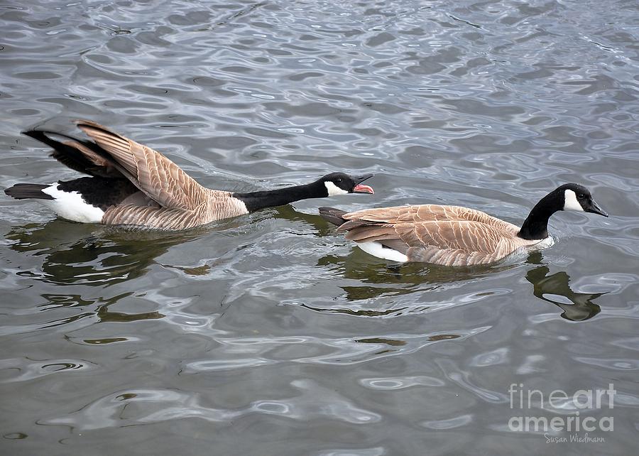 Bossy Canada Goose Photograph