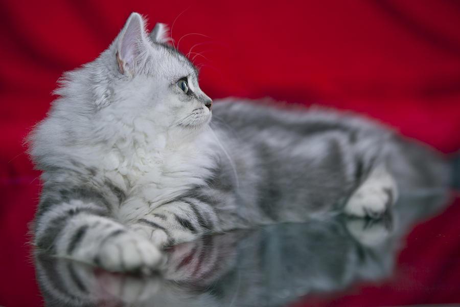British Longhair Kitten Photograph