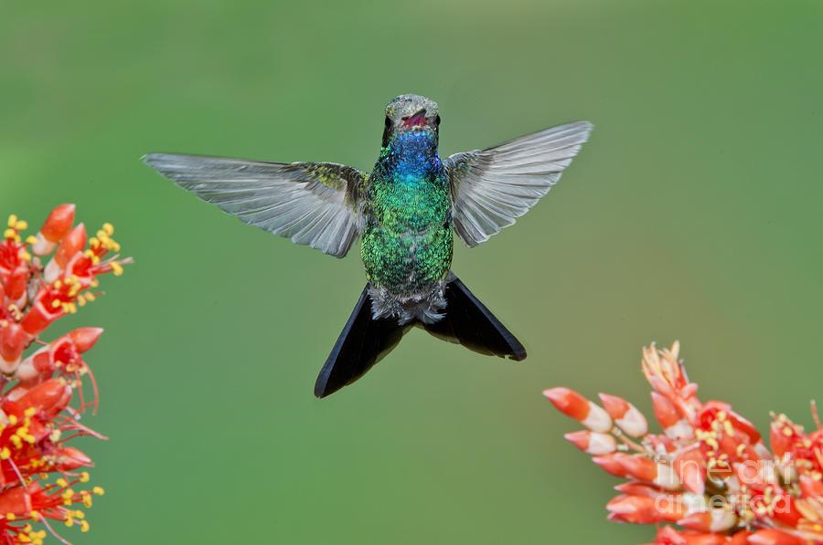 Broad-billed Hummingbird Photograph - Broad-billed Hummingbird by Anthony Mercieca