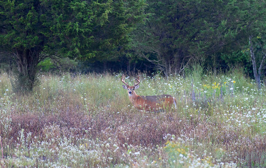Buck In Meadow Photograph