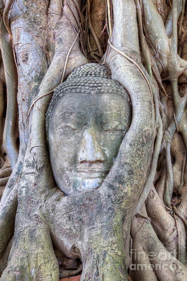 Buddha Head In Tree Photograph  - Buddha Head In Tree Fine Art Print