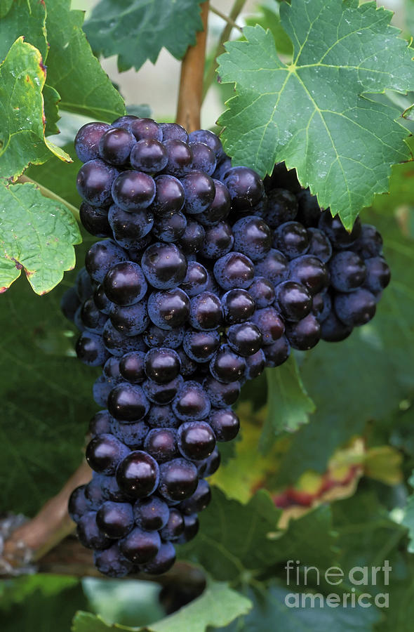 Cabernet Franc Grapes Photograph