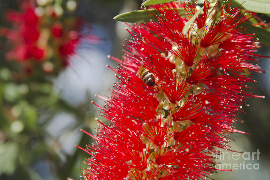 Callistemon Citrinus - Crimson Bottlebrush Photograph  - Callistemon Citrinus - Crimson Bottlebrush Fine Art Print