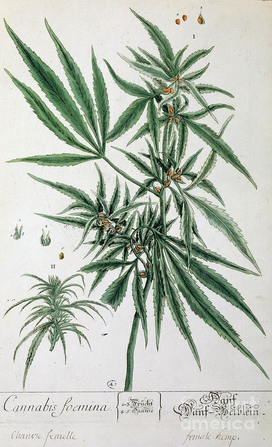 Cannabis  Painting