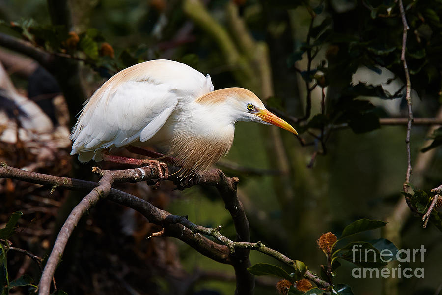 Cattle Egret In A Tree Photograph