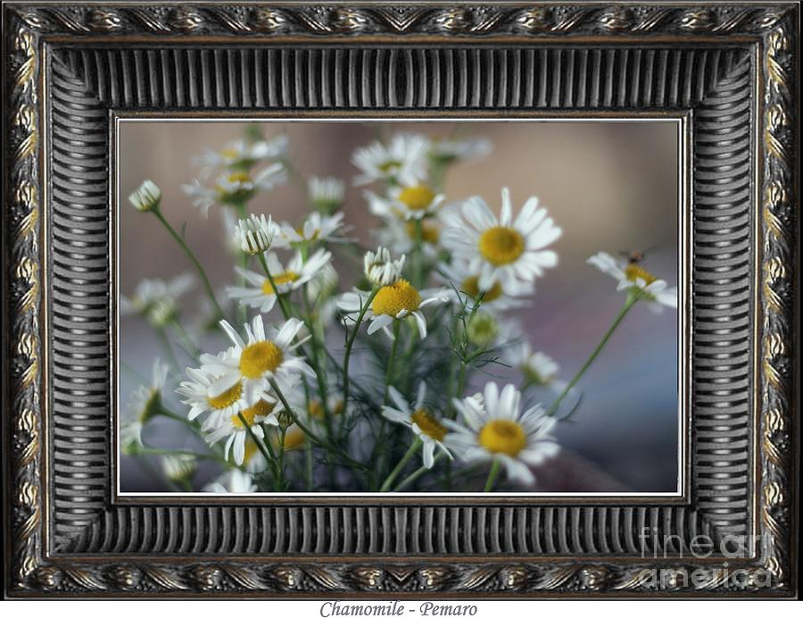 Chamomile Photograph  - Chamomile Fine Art Print