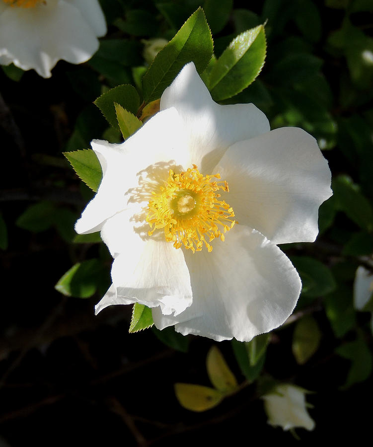 Cherokee Rose Photograph By Kim Pate