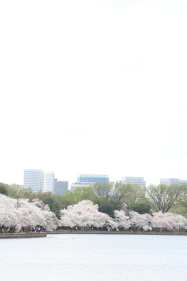 Cherry Blossoms - Washington Dc - 011316 Photograph  - Cherry Blossoms - Washington Dc - 011316 Fine Art Print