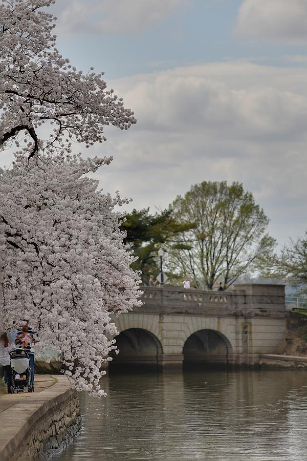 Cherry Blossoms - Washington Dc - 011328 Photograph