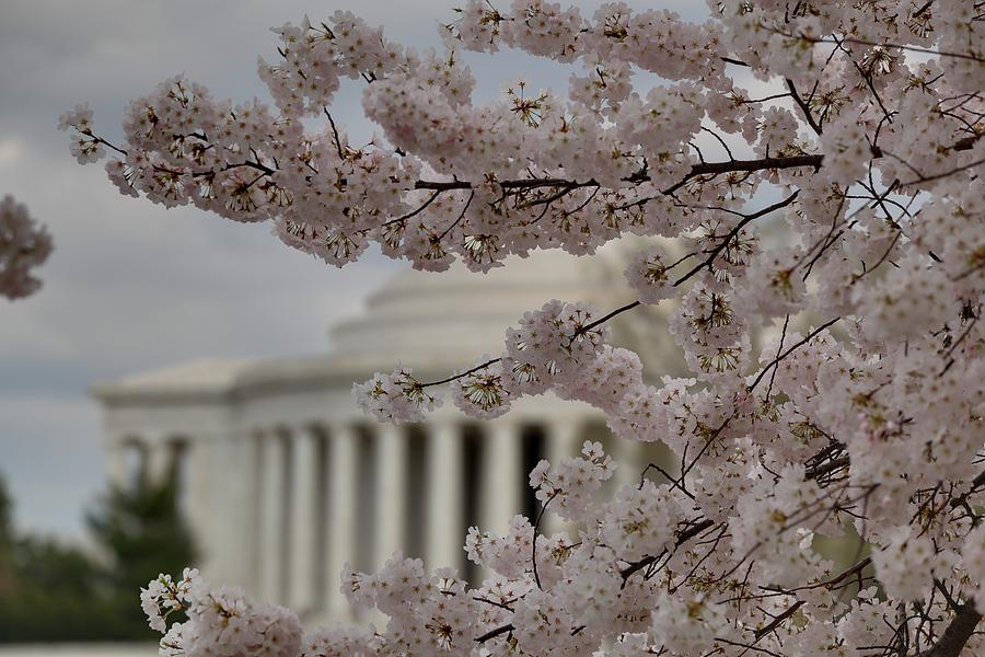 America Photograph - Cherry Blossoms With Jefferson Memorial - Washington Dc - 01134 by DC Photographer