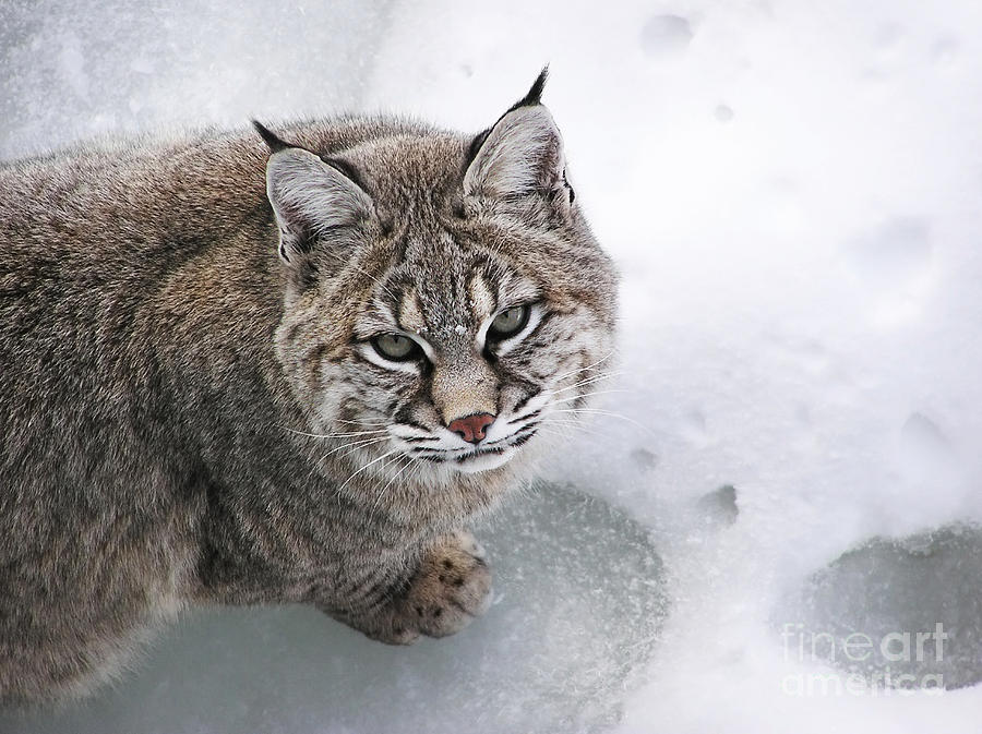 Close-up Bobcat Lynx On Snow Looking At Camera Photograph  - Close-up Bobcat Lynx On Snow Looking At Camera Fine Art Print
