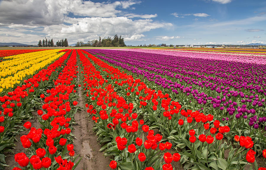 Colorful Field Of Tulips Photograph  - Colorful Field Of Tulips Fine Art Print