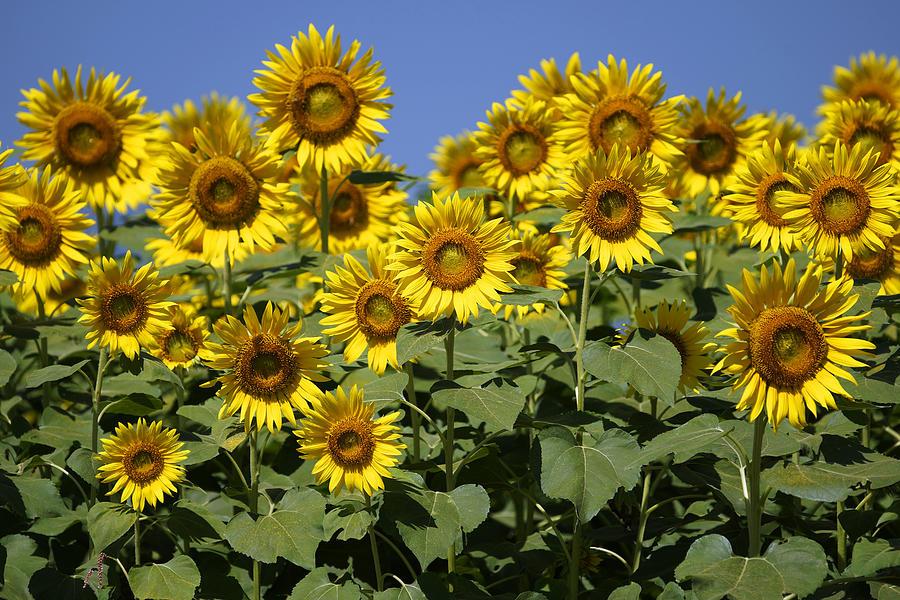 Common Sunflower Flowers Japan Photograph by Hiroya Minakuchi