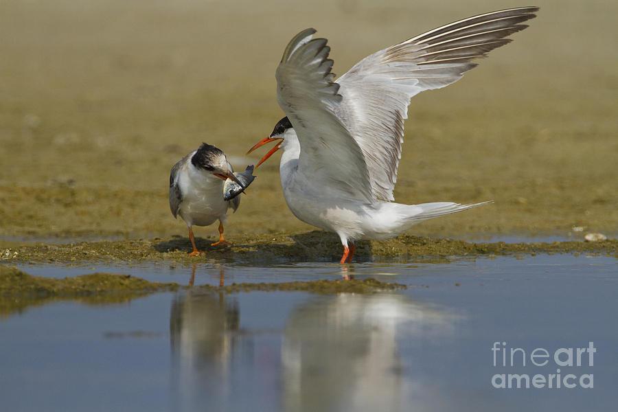 Common Tern Sterna Hirundo Photograph