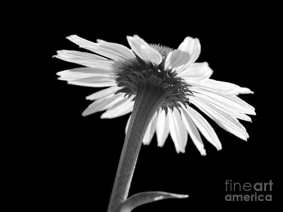 Coneflower Photograph
