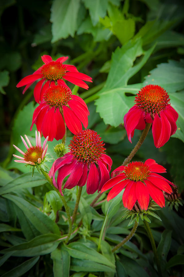 Echinacea Photograph - Coneflowers Echinacea Red  by Rich Franco