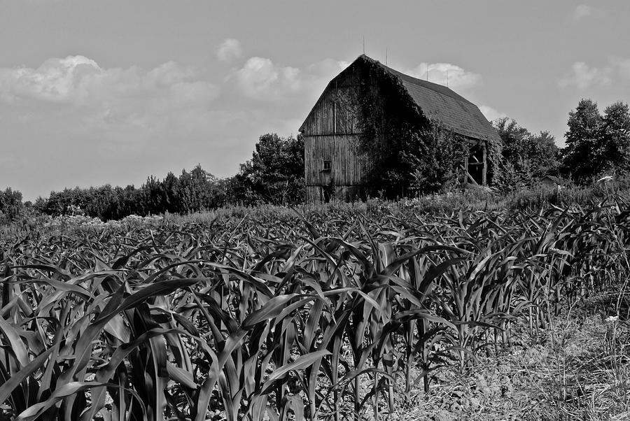 Corn Farm Photograph
