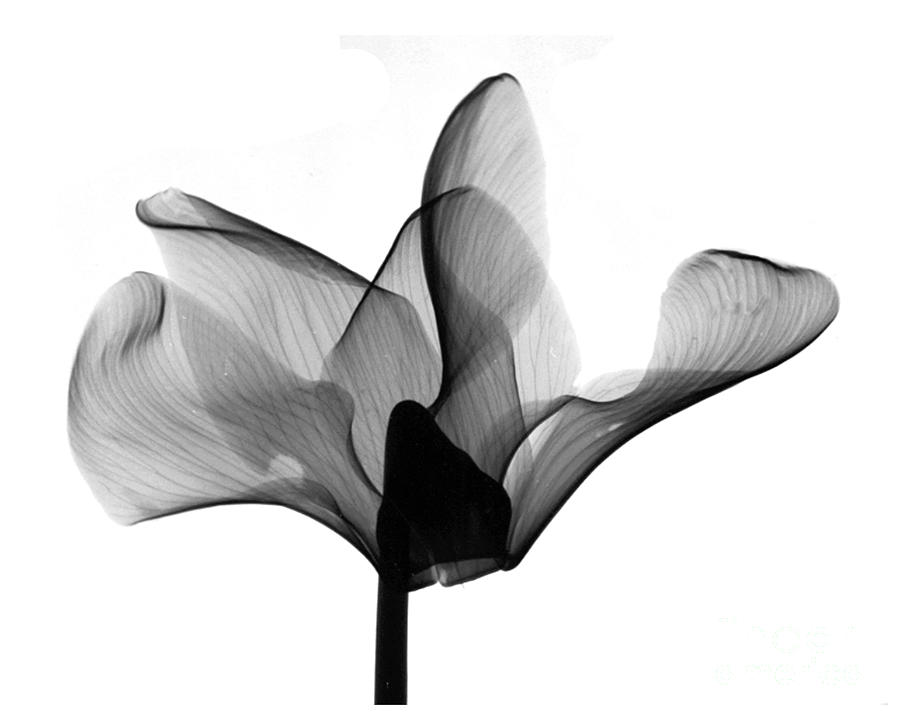Cyclamen Flower X Ray Photograph By Bert Myers