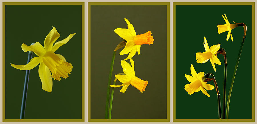 Daffodil Triptych Photograph