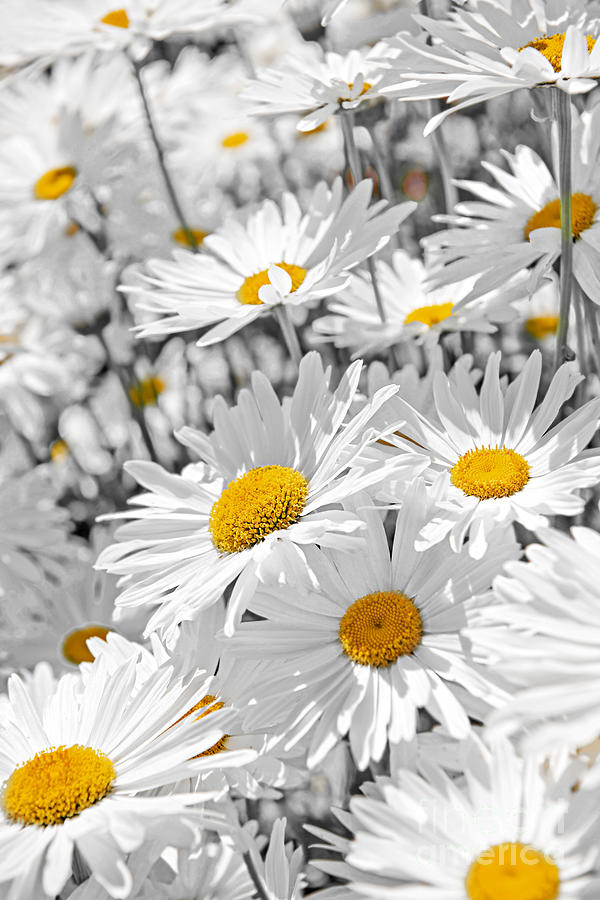 Daisies In Garden Photograph