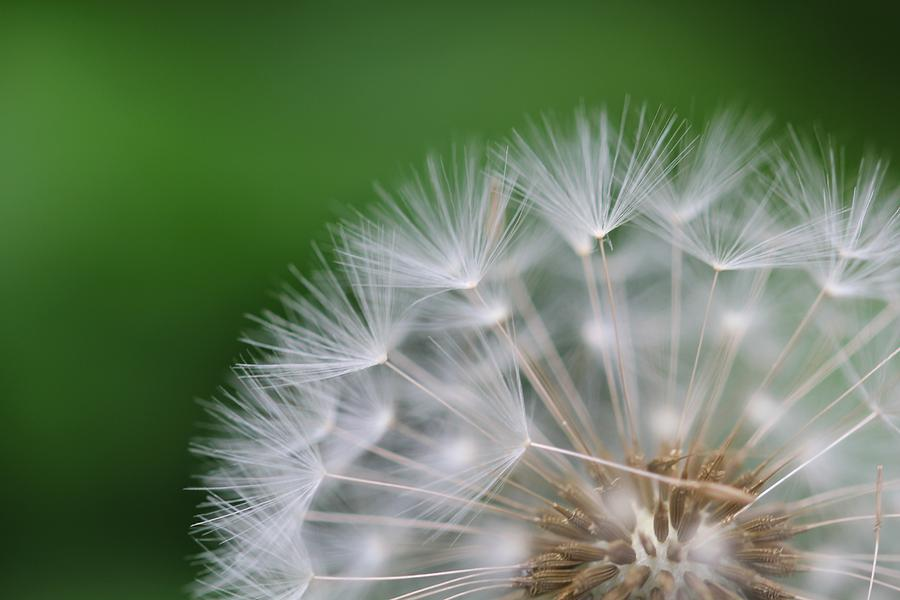 Dandelion Photograph - Dandelion by Tilen Hrovatic