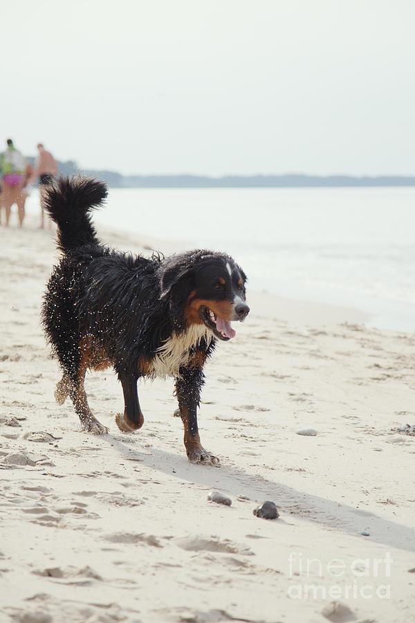 Dog Walks On Beach Photograph