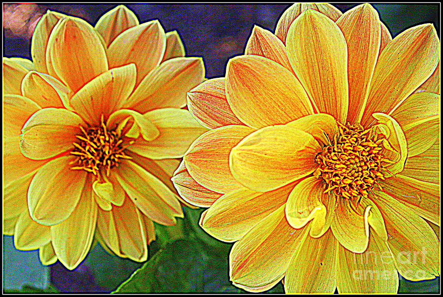 Double Delight  - Dahlias Photograph  - Double Delight  - Dahlias Fine Art Print