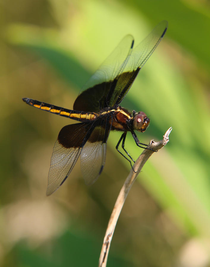 Dragon Fly Photograph  - Dragon Fly Fine Art Print