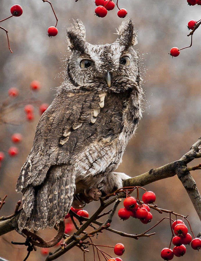 Eastern Screech Owl Red And Gray Phases Photograph  - Eastern Screech Owl Red And Gray Phases Fine Art Print