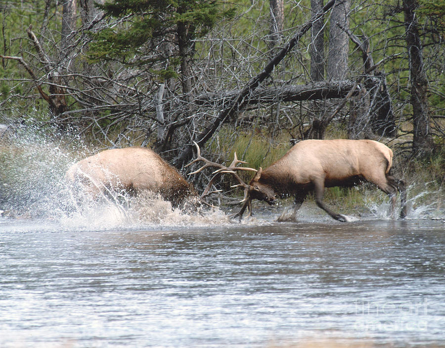 Elk Fighting 1 Photograph  - Elk Fighting 1 Fine Art Print