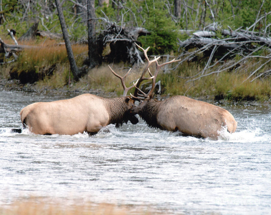 Elk Fighting  Photograph  - Elk Fighting  Fine Art Print