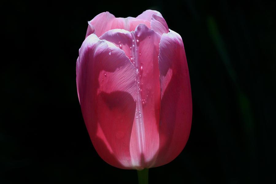 Tulip Photograph - Enlightened by Doug Norkum