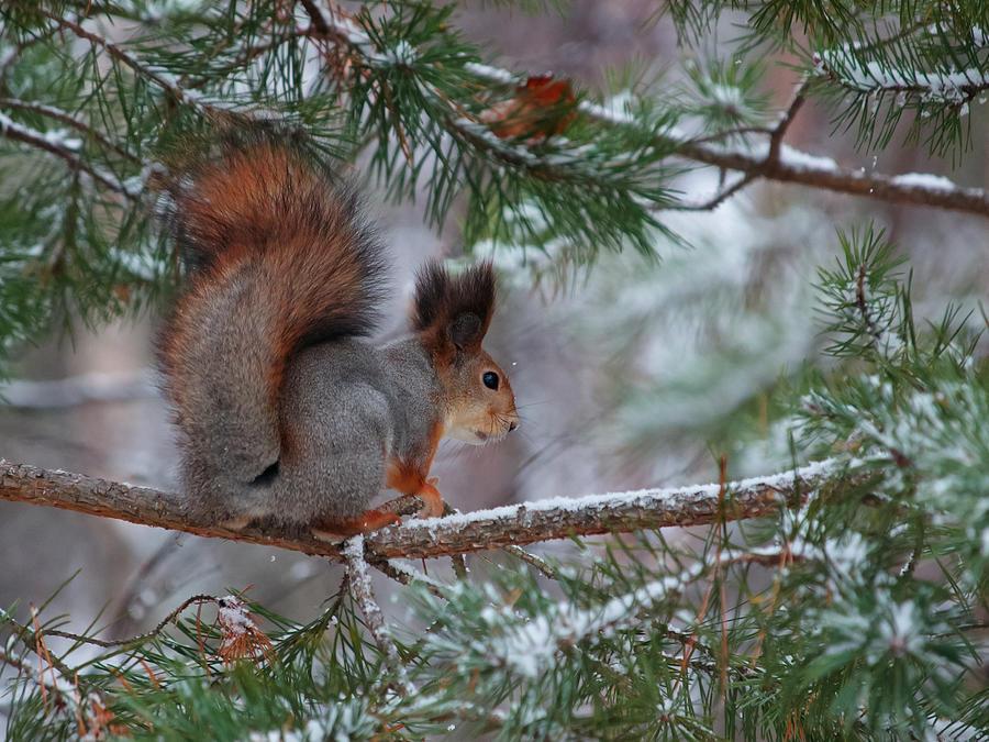 Eurasian Red Squirrel Photograph